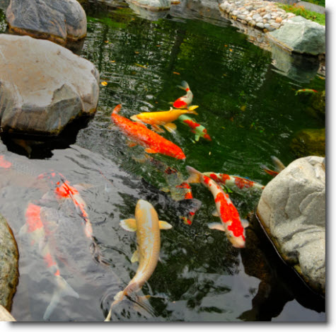 Koi pond and koi fish pictures for Koi pond photos